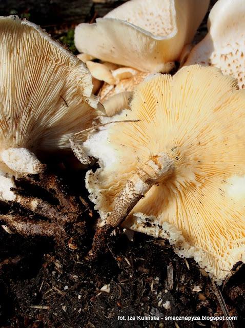 lyczak tygrysowy, skorzak pstrokaty, grzyby gatunkami, atlas grzybow, jaki to grzyb, grzyby, centki, niejadalne, lyczak pstry, las, grzybobranie, mykologia, fungi,
