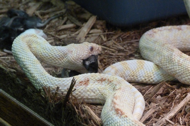 Deadly Kingdom: Feeding the Albino Bullsnake