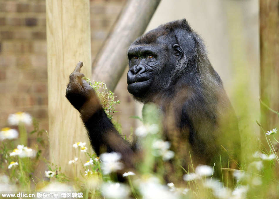 Gorilla pictures unhappy erect middle finger