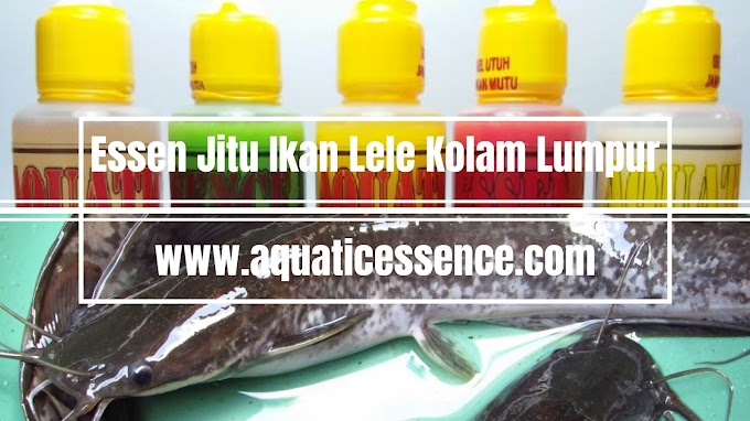 Essen Jitu Ikan Lele Kolam Lumpur