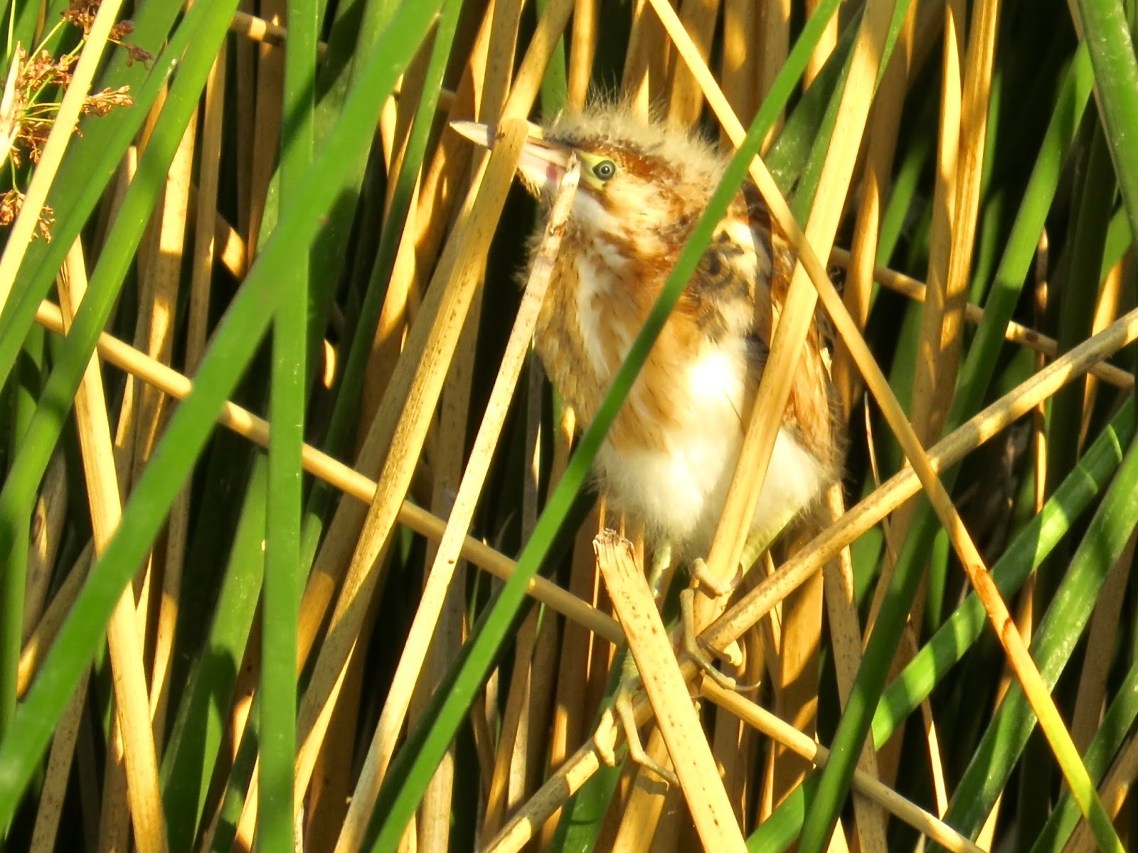 Babs' Birding Experiences : Riparian Preserve at Gilbert ... Least Bittern Baby