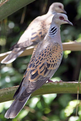 European turtle dove (Streptopelia turtur)