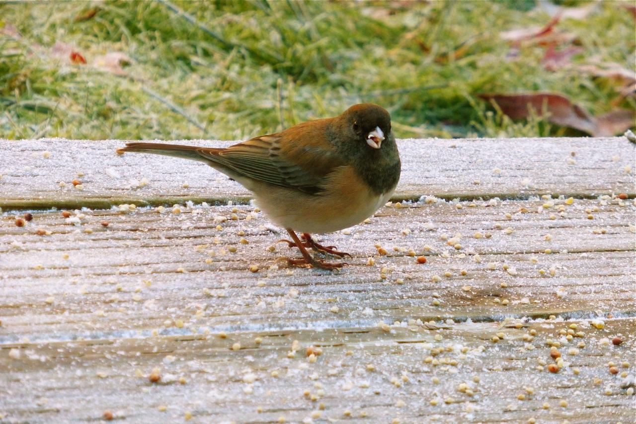 Oregon Junco, Junco, feed the Junco, feed the birds, photograph birds, how to photograph birds