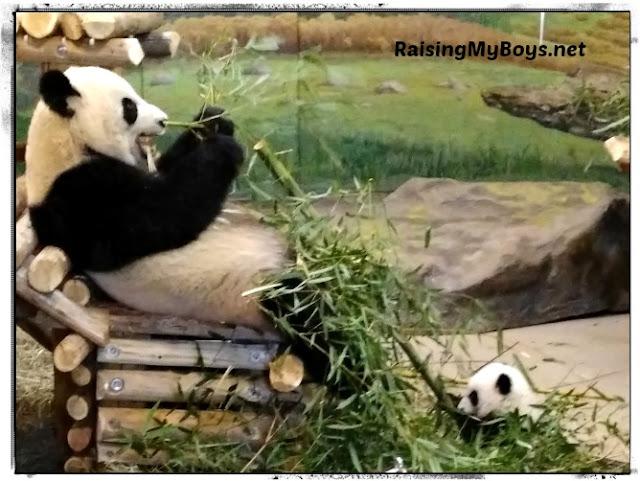 giant pandas eating bamboo