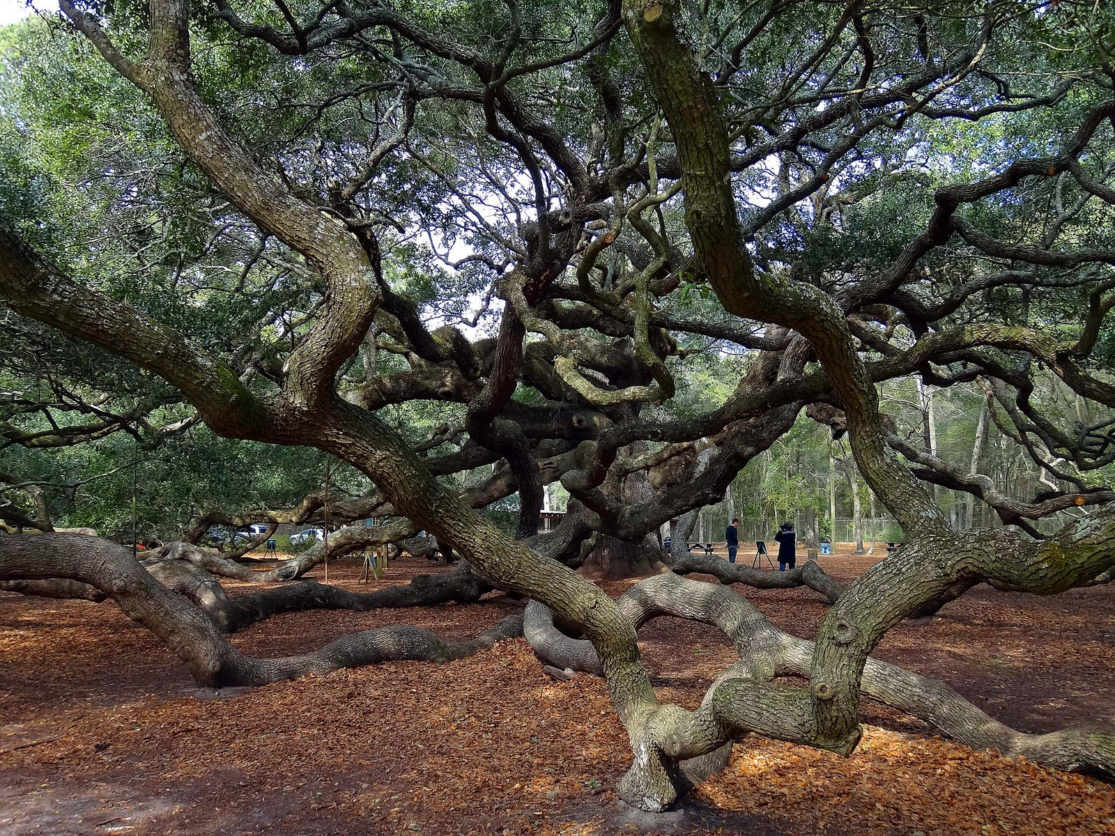 Joe's Retirement Blog: Angel Oak Tree, Johns Island, South