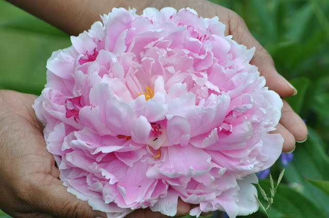 peony wedding flowers, The Camellia, Thunder Bay
