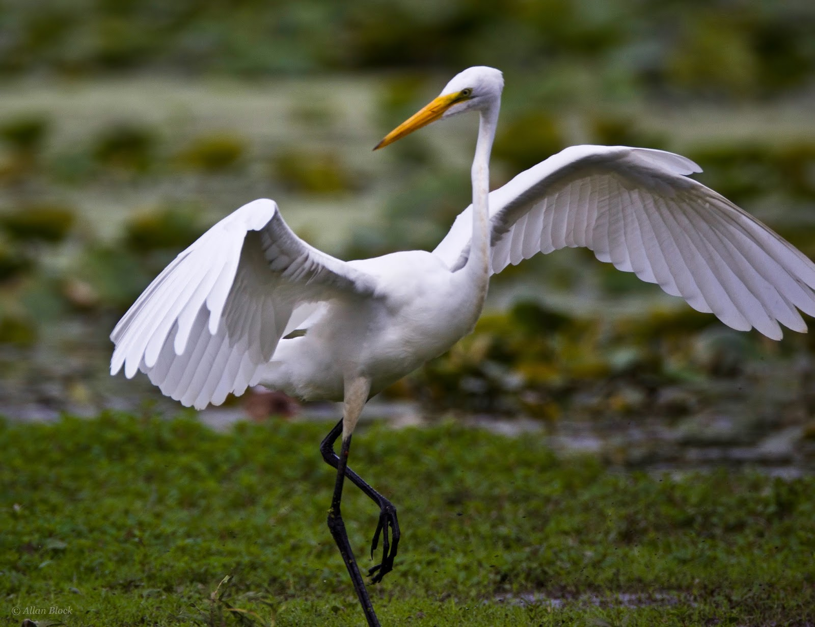 Feather tailed stories great egret great blue heron for Picture great