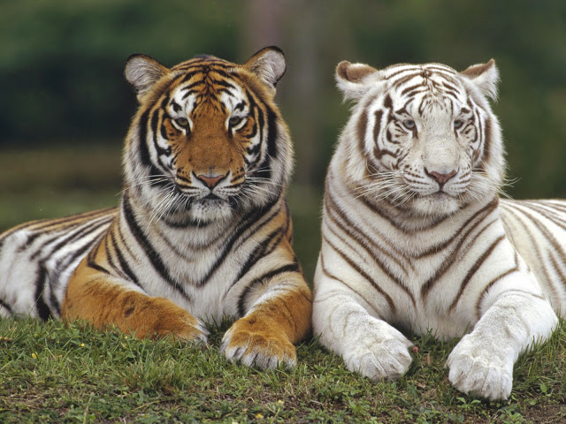 Cute Baby White Tigers Wallpapers Funny Wallpapers Hd Wallpapers