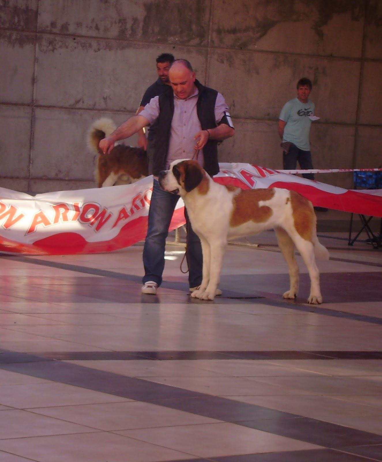 San bernardo (perro) Wikipedia la enciclopedia libre - San Bernardo Pelo Corto