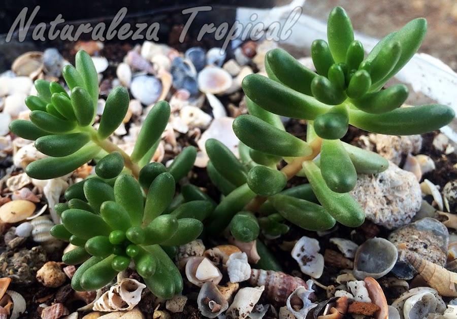 Plántula de Sedum rubrotinctum en crecimiento