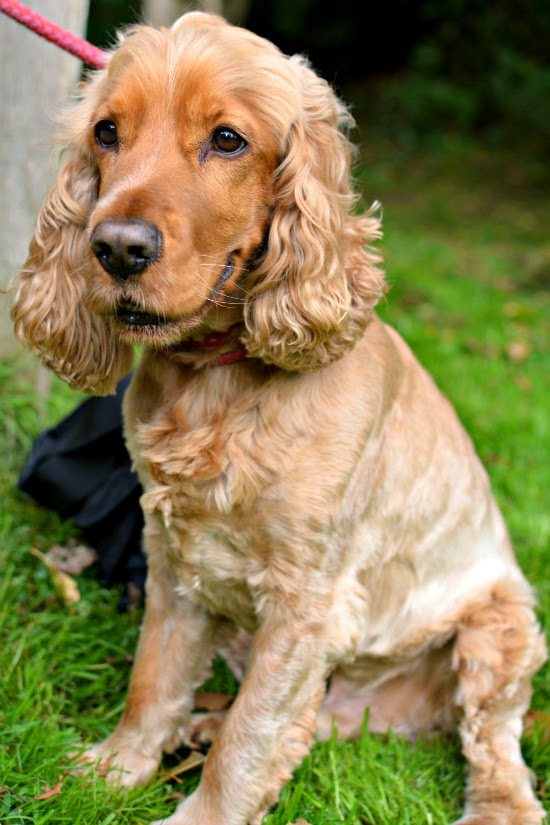golden cocker spaniel dylan