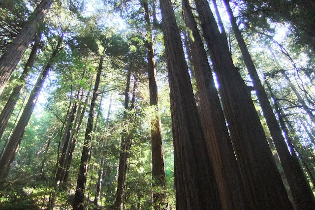 muir-woods-national-monument4 ミュアウッズ国定公園