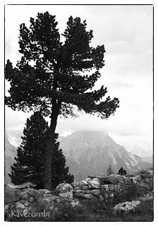 Örökzöld fa kapaszkodik a Dolomitokban