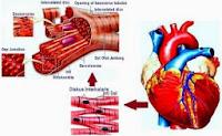 Pengertian, Fungsi dan Ciri-Ciri Otot Jantung