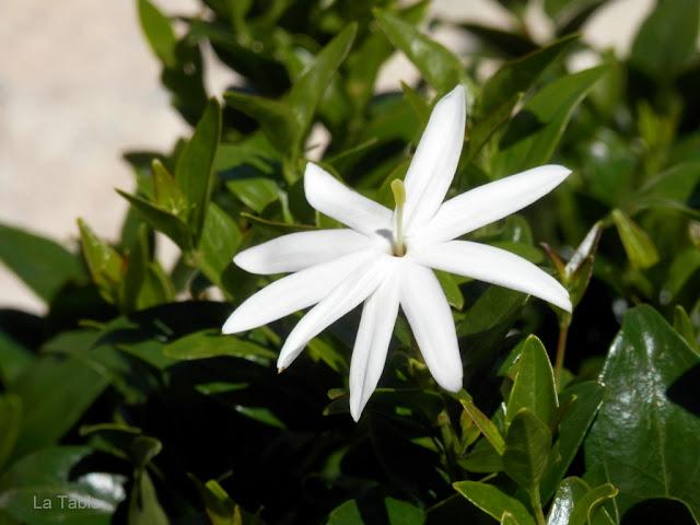 Flor Jasminum multipartitum