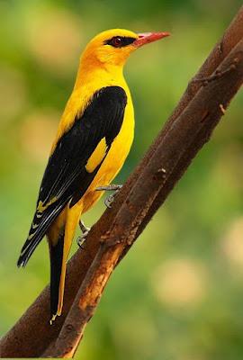Foto de exotico pajarito amarillo y negro