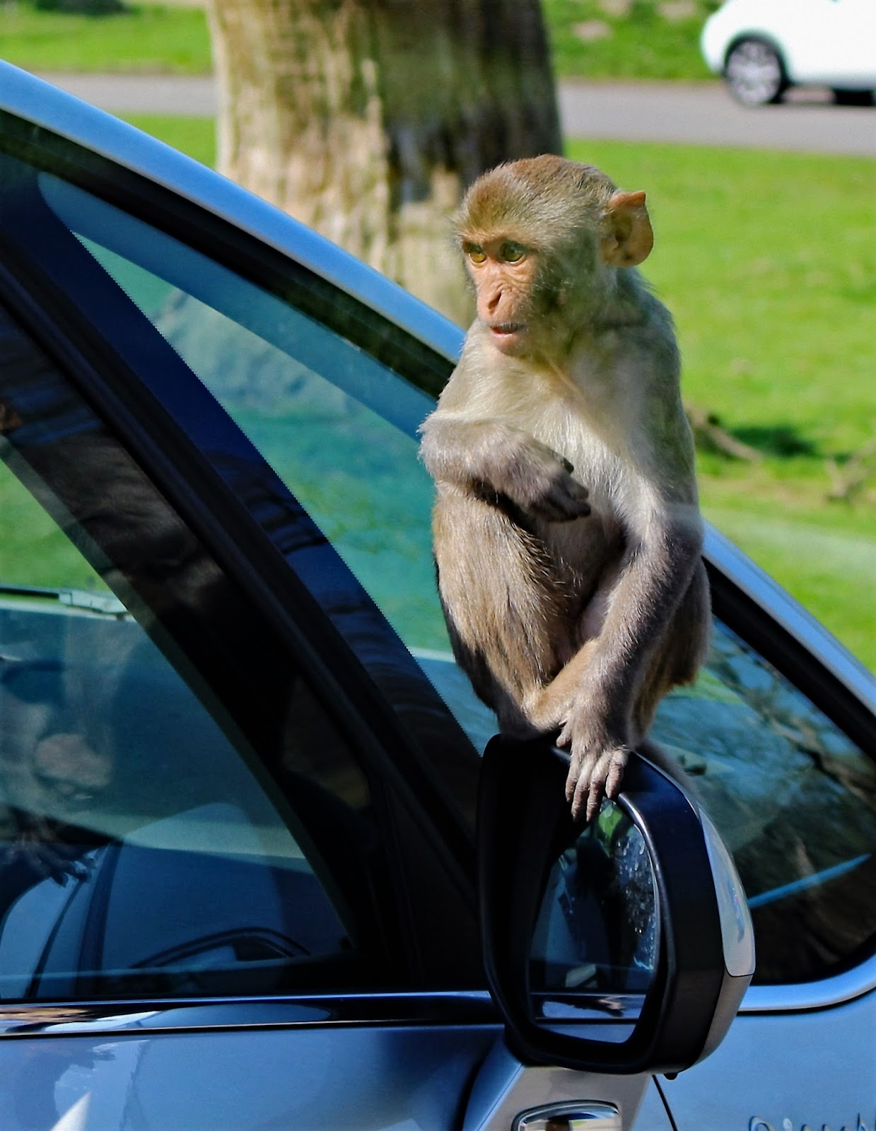 A funny picture of rhesus monkey.