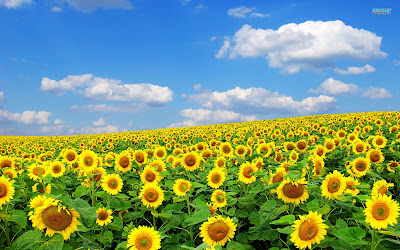 Hoa hướng dương đẹp nhất thế giới 23