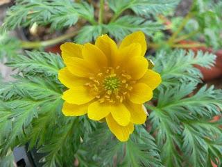 Adonis planta medicinal y ornamental