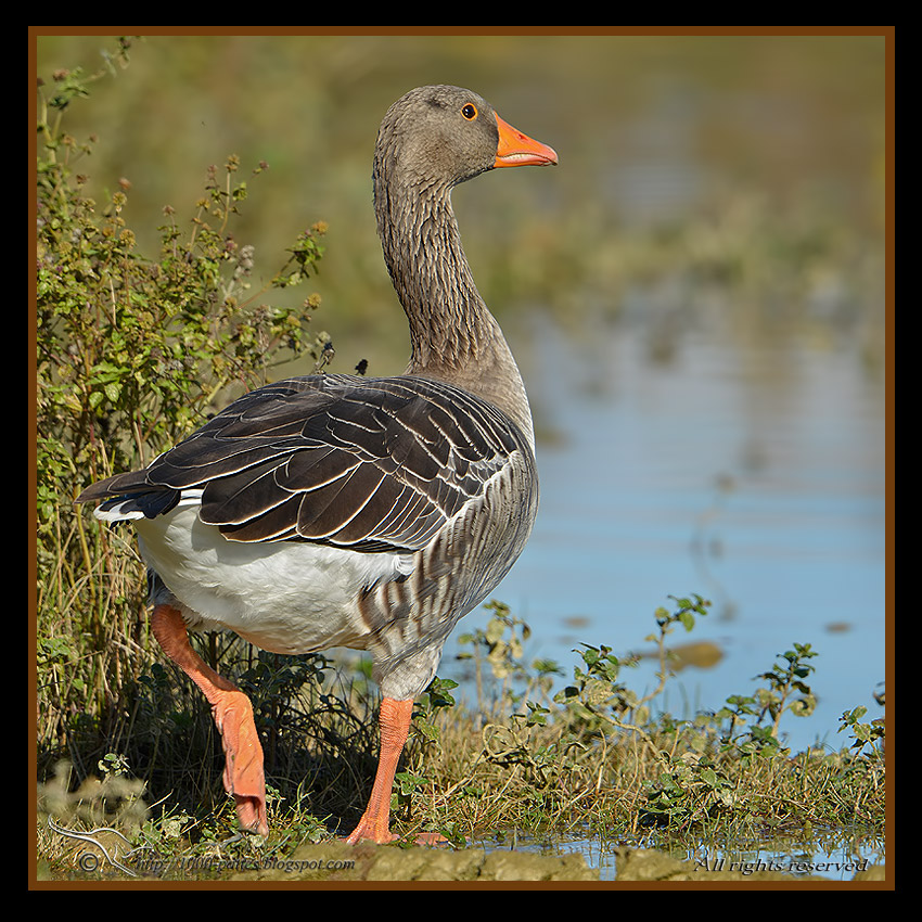 Greylag geese, in for winter…