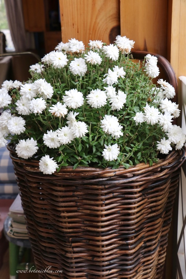 French Country Thanksgiving with white chrysanthemums in a French market flower basket