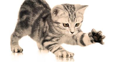 Mačići su češći prenosnici baketrije nego odrasle mačke - Bolest mačjeg ogreba