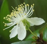 Flor de pitanga