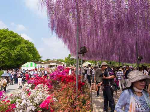 Wisteria in Ashikaga Flower Park, Tochigi.