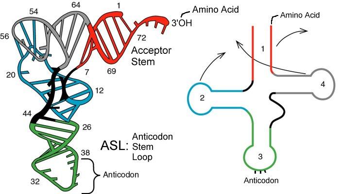 Langkah sintesis protein info pendidikan dan biologi rna t ccuart Images