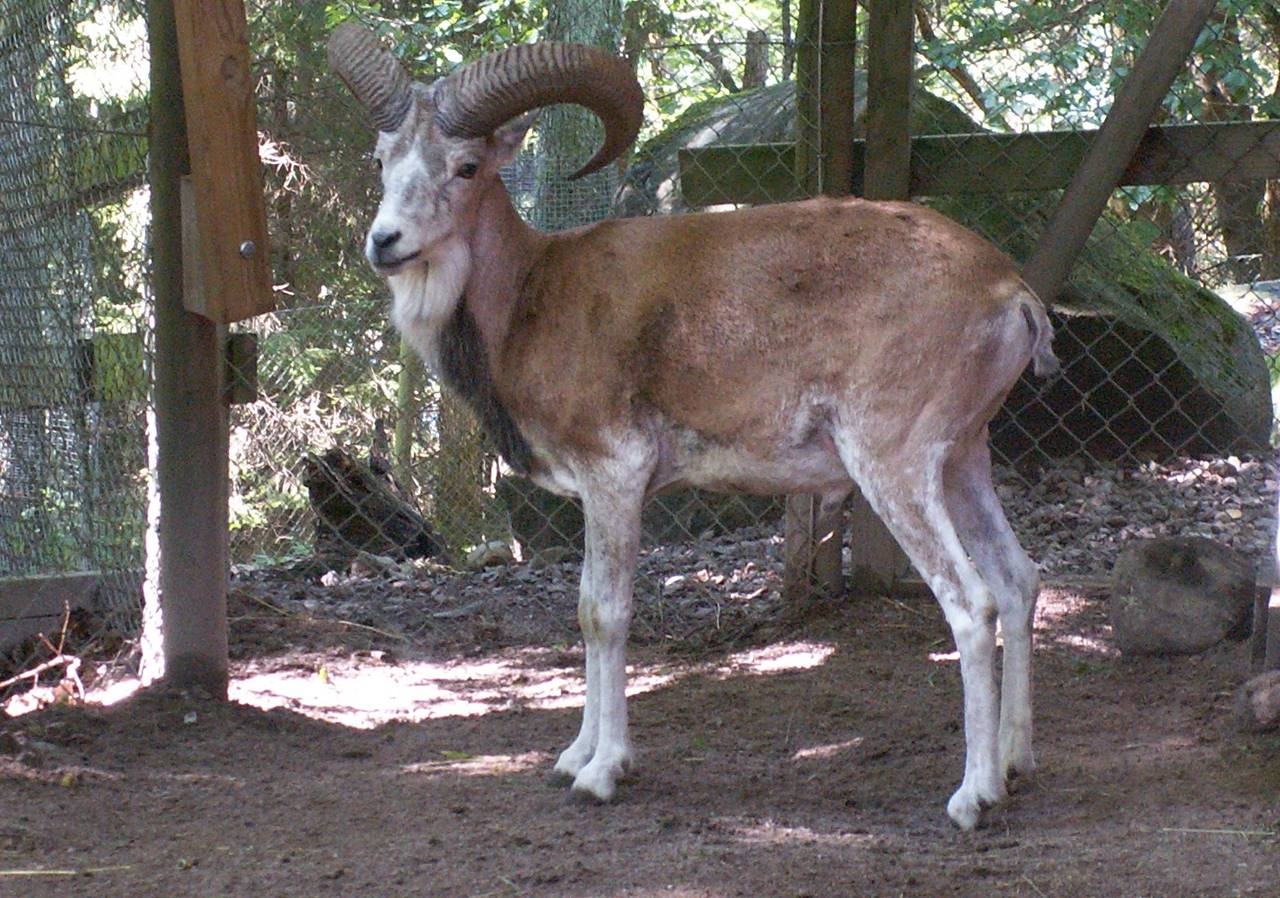 Urial facts pictures