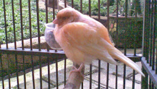 Virus Burung - Menangani Dan Mencegah Burung Kenari Terkena Virus - Solusi Penangkaran Burung Kenari