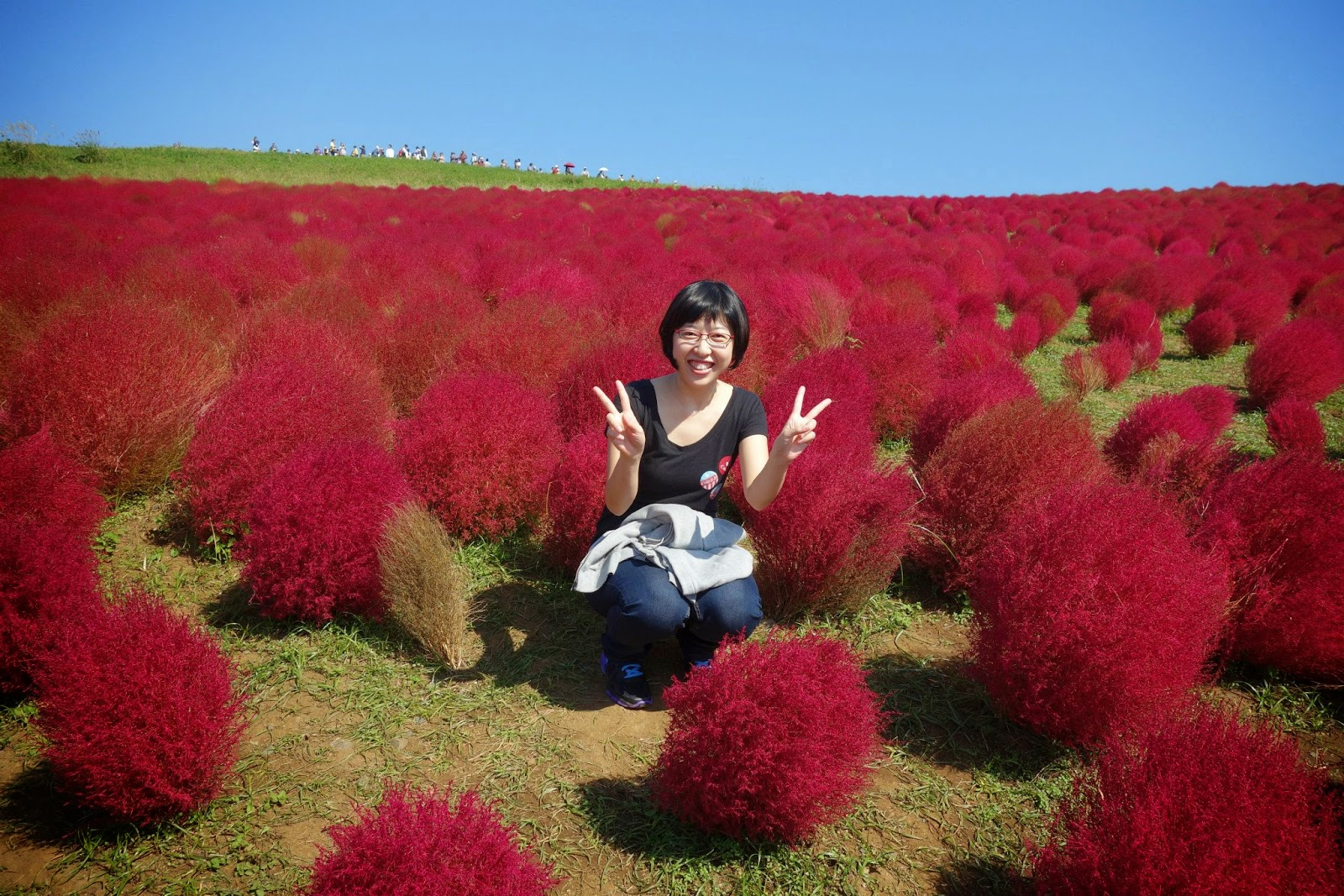 Red Kochia Bassia scoparia (syn. Kochia scoparia) Hitachi Seaside park kaihin kouen