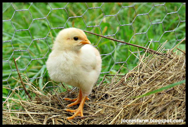Baby Chicks @ Jocees Farm