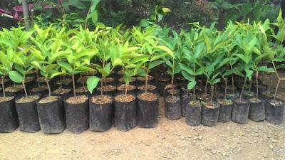bibit-bibit buah unggul bibit jambu super green unggul bibit jambu air unggul budidaya jambu super green pemeliharaan tanaman super green menanam jambu air
