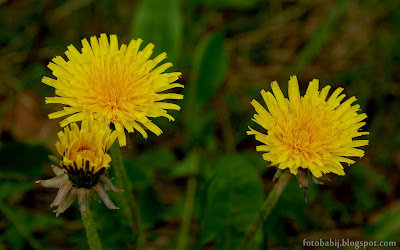http://fotobabij.blogspot.com/2015/05/mniszek-lekarski-dmuchawiec-kwiaty.html