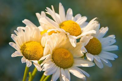 Bella Opulence Chamomile Flowers