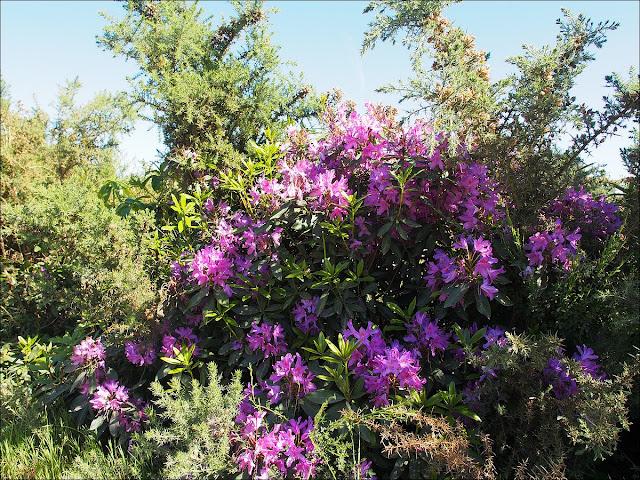 Rhododendrons près du Moulin de Cojoux, à Saint-Just