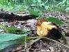 Αγαπημένα μανιτάρια που φυτρώνουν σε καστανιές