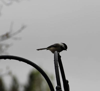 chickadee in rain