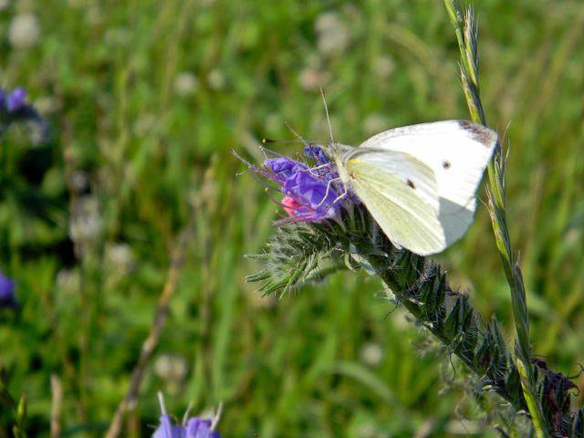 polskie motyle, kwiaty na łące, trawy