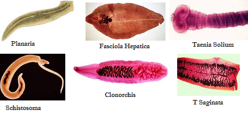 manfaat filum platyhelminthes olcsó féreggyógyászati vélemények