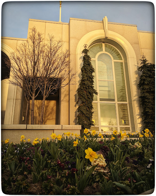 Daffodils outside Mount Timpanogas Temple - American Fork