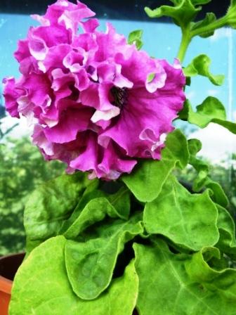 махровая петуния цветет