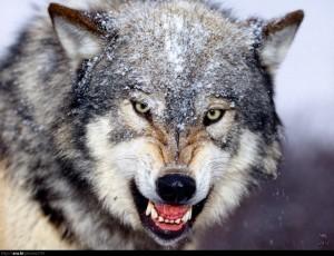 صوت الذئب