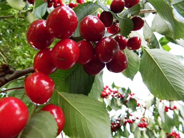 w sadzie, owoce, słodkie owoce, czerwone