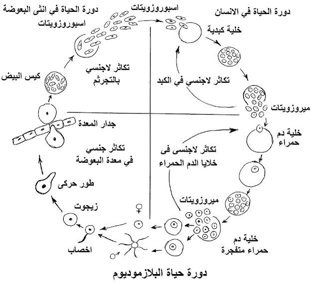دورة الحياه في السراخس والبلازموديوم احياء