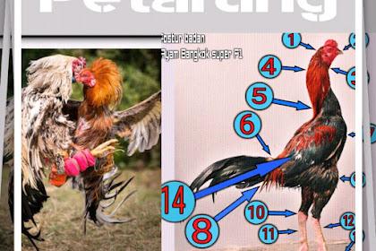 Belajar Memilih Ayam Khas Petarung Control Attack