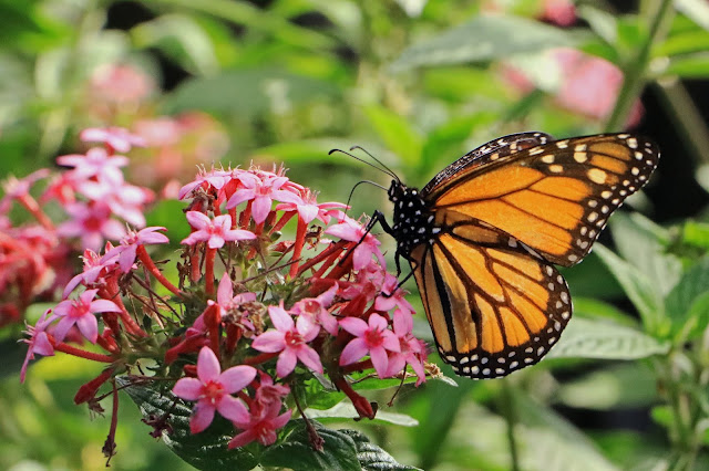 Buy wallart of Monarch Butterfly on Flowers