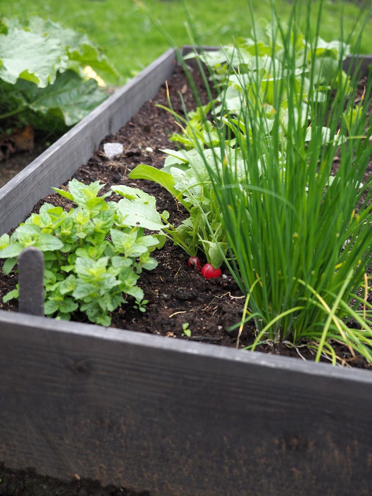 lavankaulus, viljely, hyötypuutarha
