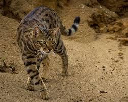gambar kucing Cheetoh